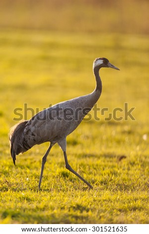 Common crane Germany