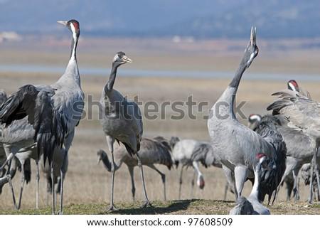 Common crane Grus grus - stock photo