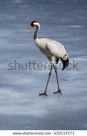 Common crane walking on the ice of a frozen water in early spring.