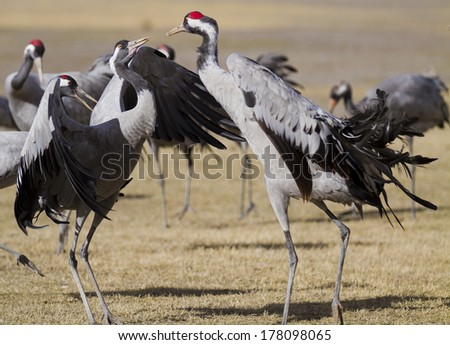 Common Cranes Grus grus in Gallocanta, Spain - stock photo