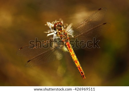 Common Darter, Sympetrum striolatum. Macro picture of dragonfly on the leave. Dragonfly in the nature. Dragonfly in the nature habitat. - stock photo