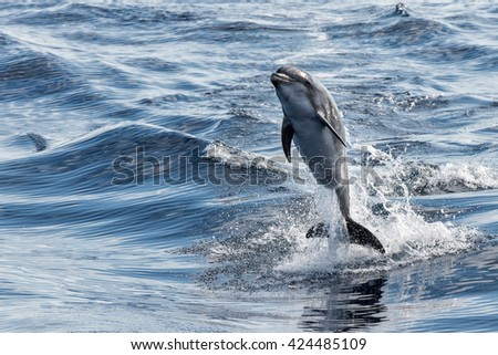 common dolphin jumping outside the water