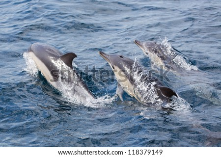 Common Dolphin swimming in the ocean - stock photo