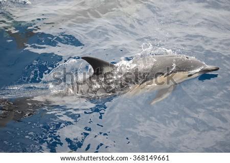 Common dolphins in Hauraki Gulf, New Zealand - stock photo