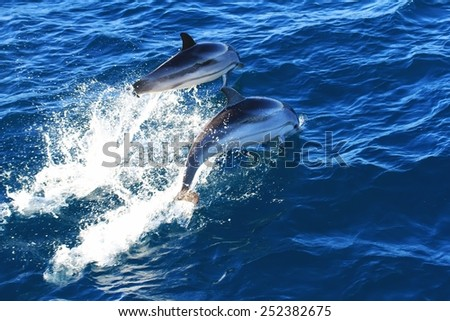 Common dolphins jumping - stock photo