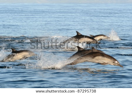Common Dolphins on the Run - stock photo