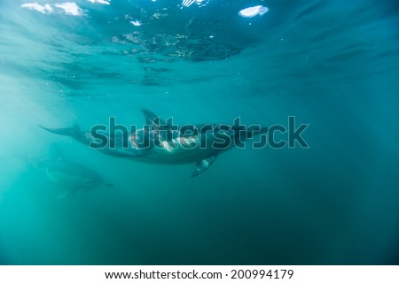 Common dophins swimming just beneath the surface - stock photo