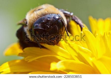 Common Eastern Bumble Bee, Bombus impatiens - stock photo