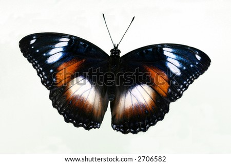 Common Eggfly Butterfly with open wings