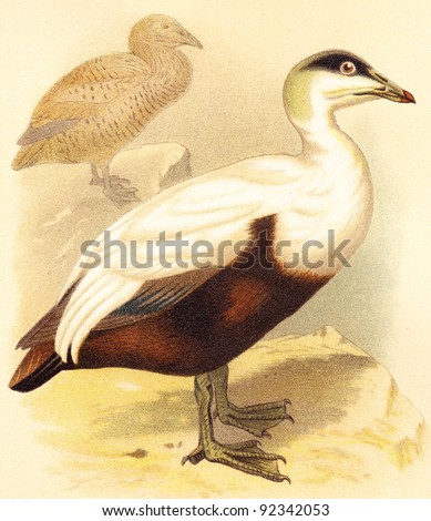Common Eider (Somateria mollissima) / vintage illustration from Meyers Konversations-Lexikon 1897