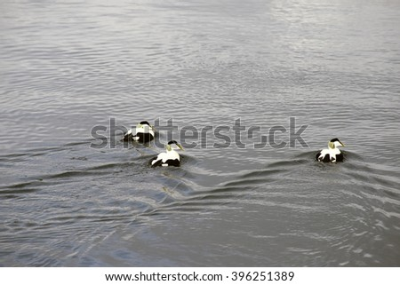 Common Eider. Three male Eiders. The photo was taken in Little Belt close to Middelfart, Funen, Denmark. - stock photo