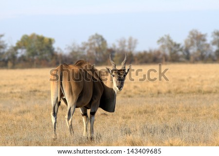 Common Eland - stock photo