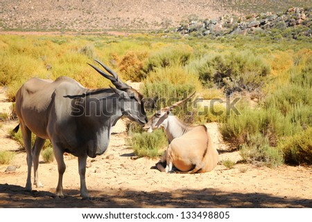 Common eland (Taurotragus oryx), the largest of all antelope in Africa at african bush - stock photo
