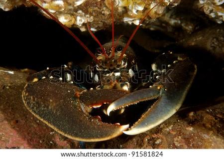 Common European Lobster - stock photo