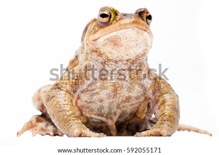 Common European toad, Bufo bufo. beautiful animal isolated on a white background