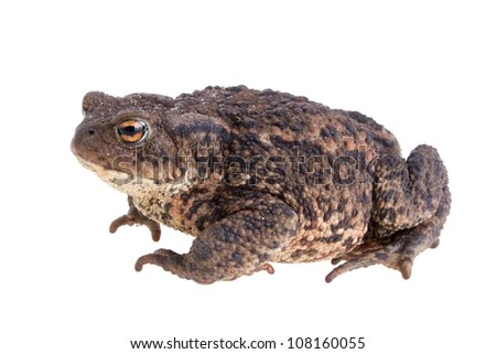 Common european toad from the side isolated on white