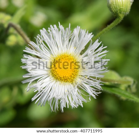 Common fleabane blooming in Mississippi - stock photo
