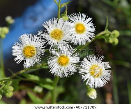 Common fleabane flowers in Mississippi - stock photo