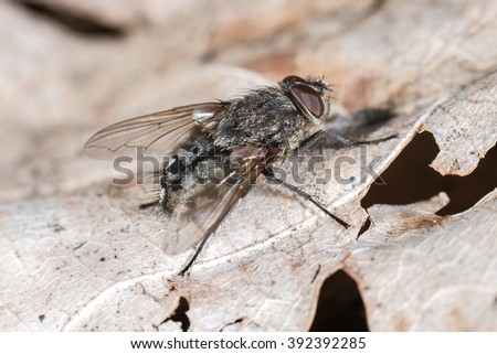 Common flesh fly (Sarcophaga carnaria) in spring