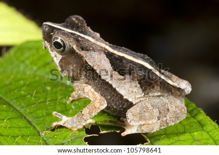 Common Forest Toad (Rhinella margaritifer) sleeping precariously at night on a branch
