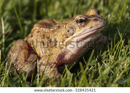 Common frog closeup on grass