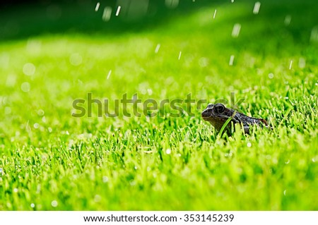 Common frog/Common European or Brown frog latin name Rana Temporaria photographed in the grass - stock photo