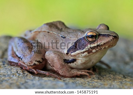 Common Frog portrait