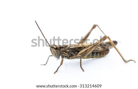 Common garden grasshopper or cricket  isolated on white background. - stock photo