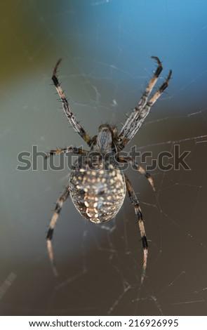 Common garden spider. - stock photo