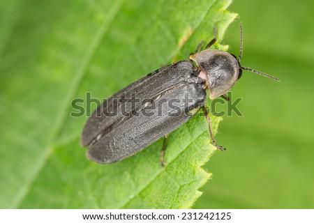 Common glow-worm (Lampyris noctiluca) sitting on leaf - stock photo