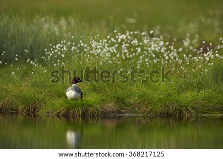 Common goldeneye Bucephala clangula,sea duck in its breeding habitat in the taiga,female on the lakeside, flowering grass and deep green meadow reflects on water surface. - stock photo