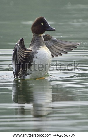 Common goldeneye cleans her feathers - stock photo