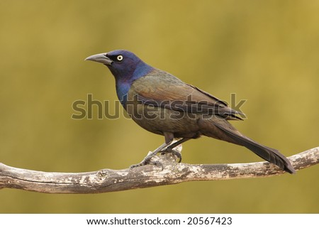 Common Grackle (Quiscalus quiscala) perch. - stock photo