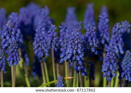 Common Grape Hyacinth