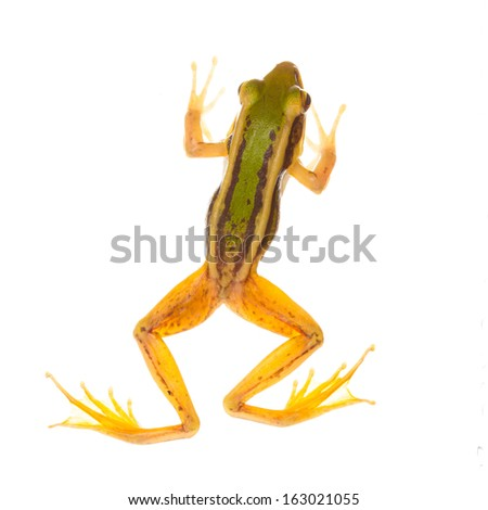 Common green frog - stock photo