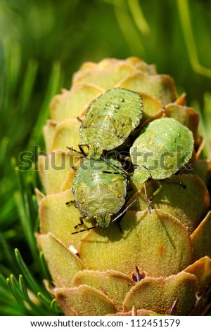 Common Green Shieldbug (Palomela prasina) on larch strobilus