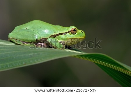 Common green tree frog - stock photo