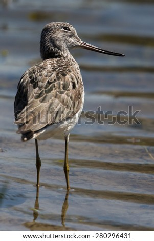 common greenshank (Tringa nebularia) with curious look - stock photo