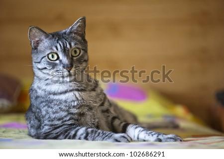 Common grey cat in house - stock photo