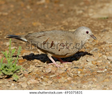 Common Ground-Dove on the ground in South Texas