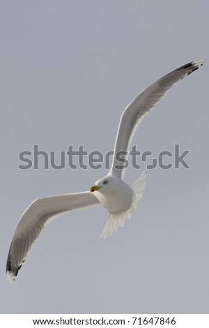 Common Gull - stock photo