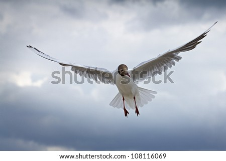 Common Gull - at the sky - stock photo