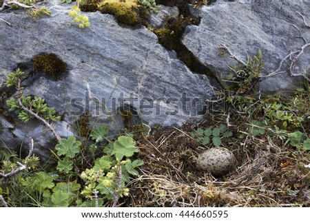 Common gull (Larus canus) nest with one egg at rocky ground at Norwegian coast - stock photo