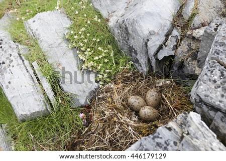 Common gull (Larus canus) nest with three eggs in grass between rocks at Norwegian coast. - stock photo