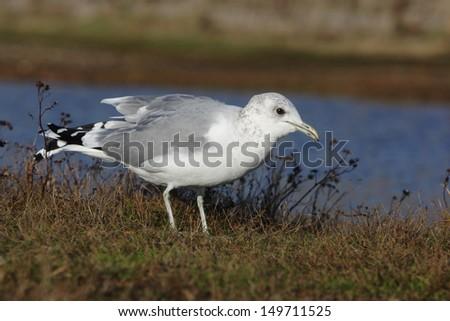 Common gull, Larus canus, Norfolk, Nov 2009                    - stock photo