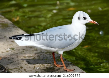 Common Gull on River Bank