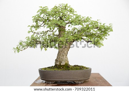 Common hawthorn (crataegus monogyna) bonsai on a wooden table and white background