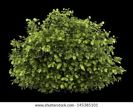 common hazel bush isolated on black background - stock photo