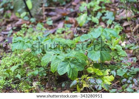 Common hogweed - stock photo
