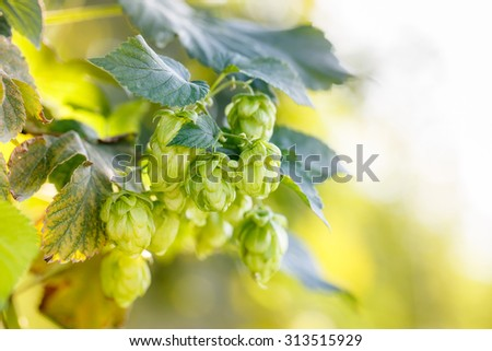 Common hop cones, ripe for picking and used as raw material for beer production (Humulus lupulus). Organic, clean agricultural industry, beer production, raw materials concept.  - stock photo